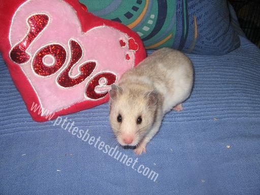 [ESPÈCE] Le hamster Syrien 745474Sanstitre1