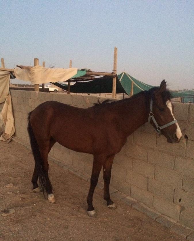 حصان عربي اصيل للبيع 749113892