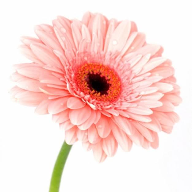 Fleurs,....fruit,.....tout ce qui se mange,...se boit....ou qui vient de la nature.......... 757580gerberajpg