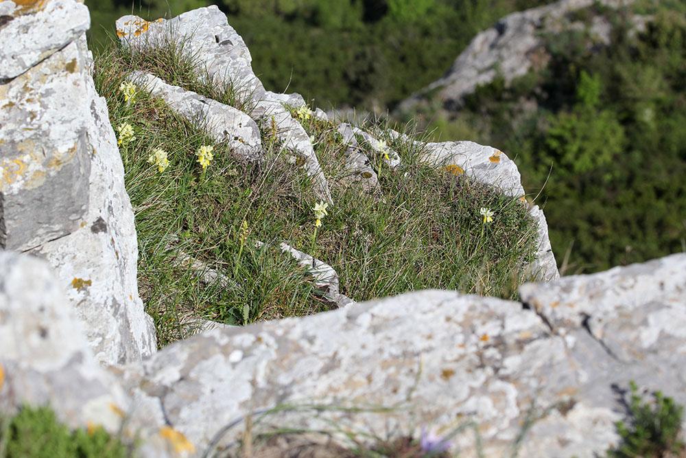 Orchis pauciflora ( Orchis à fleurs peu nombreuses ) 757832IMG6888forum
