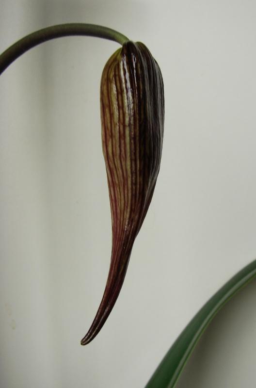 Phragmipedium Grande 'La Tuilerie' (caudatum x longifolium) 759327Flo2014au20140430