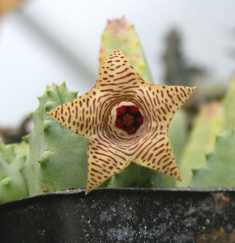 Asclepiadaceae - Saison 2013 - Page 5 767182huerniastriatafleur