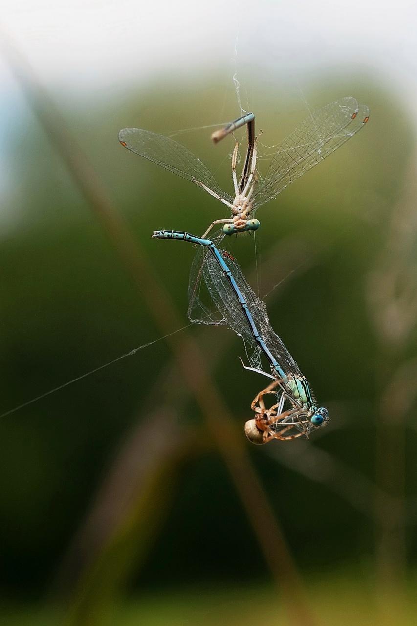 libellules prises au piège 7687197082014132301