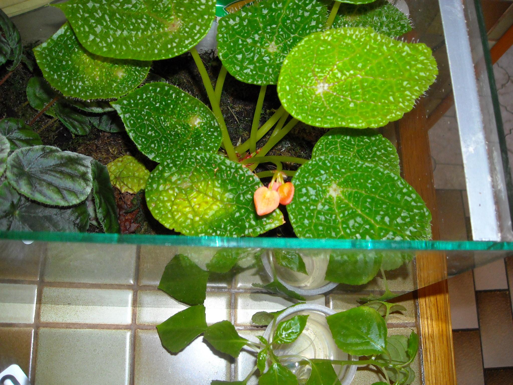 bégonia microsperma - Page 2 771890bmicrospermaenfleur002