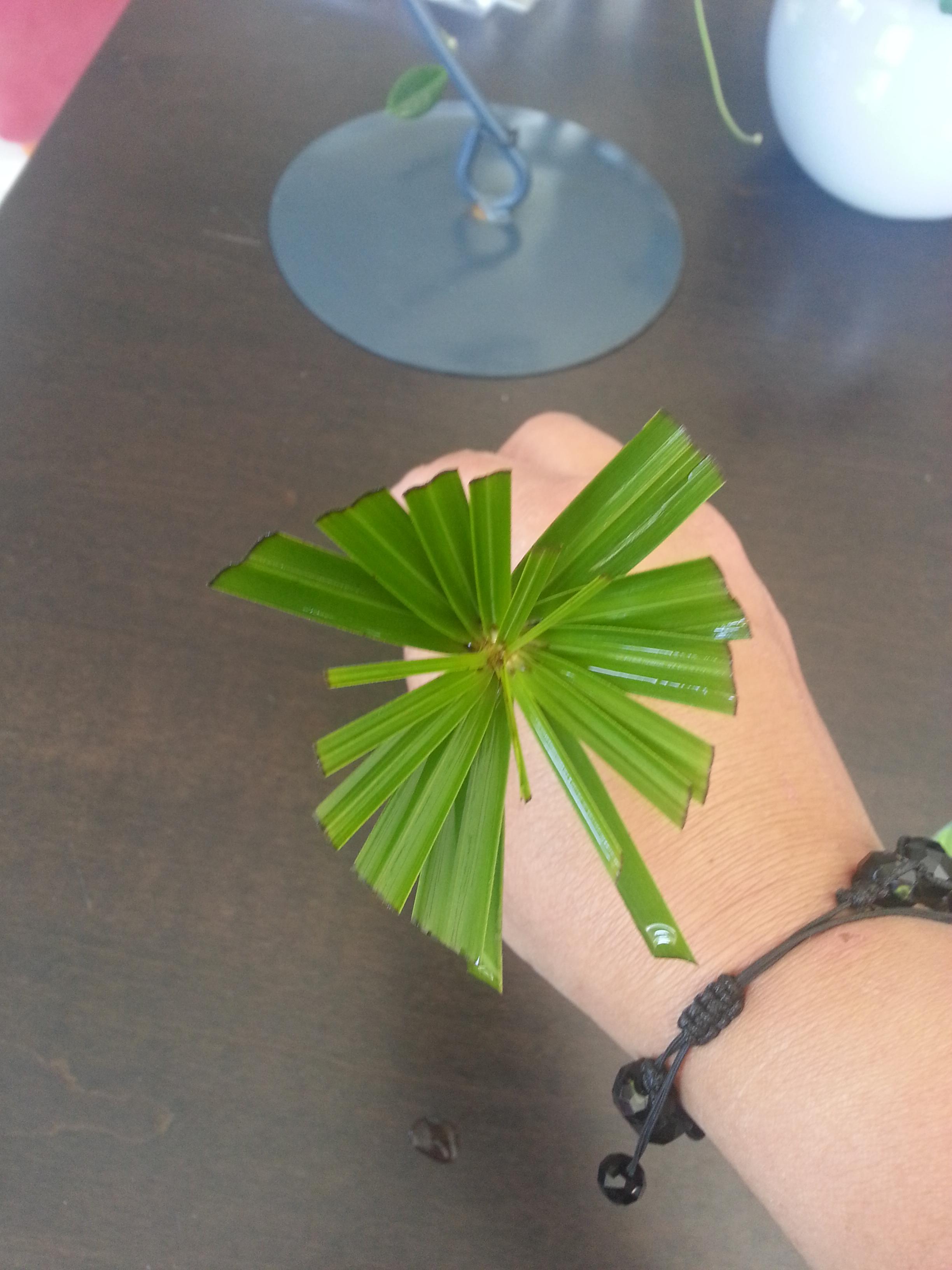 bouture de papyrus alternifolia - Cyperus alternifolius  77632920140902140846
