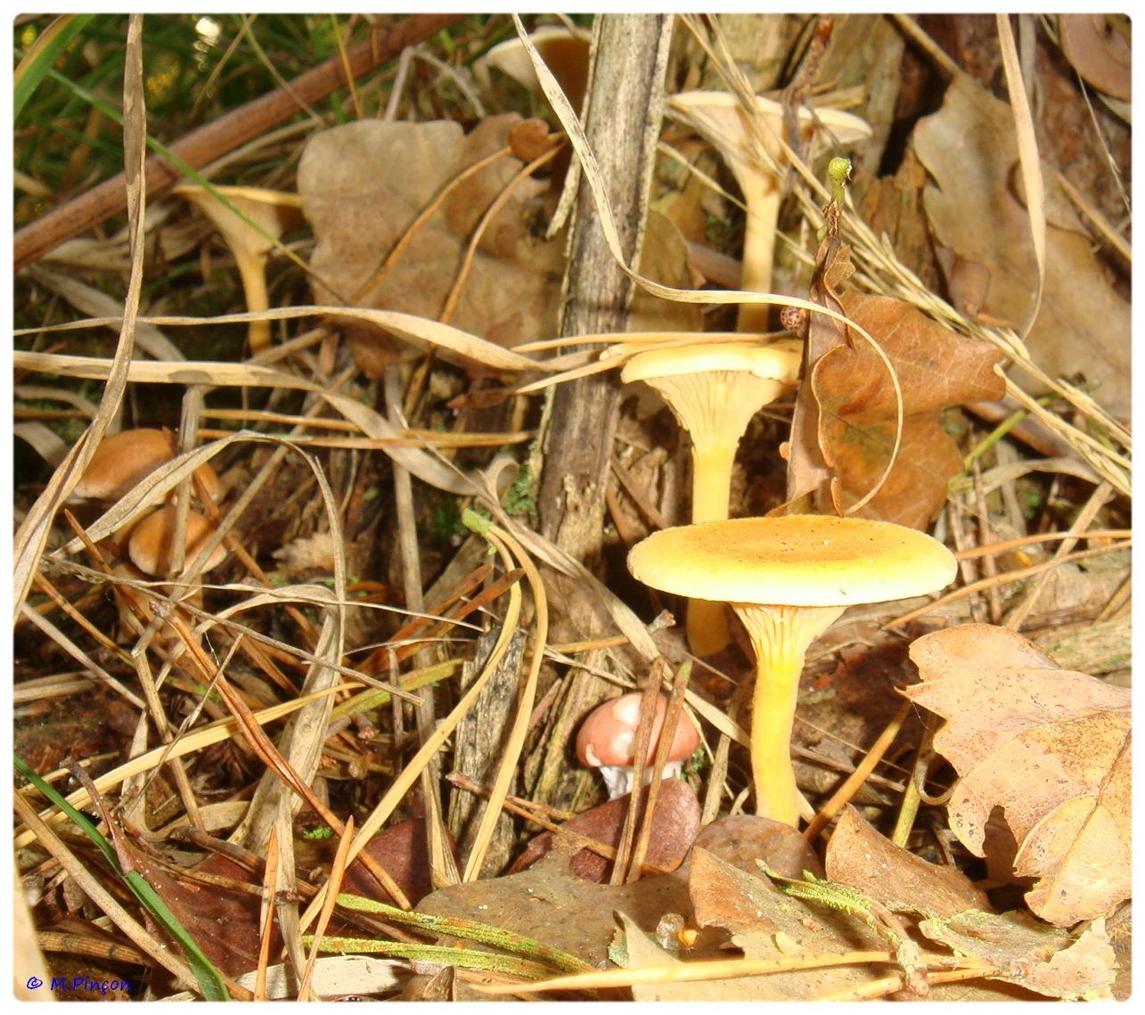 [fil ouvert] les champignons 794755DSC011166