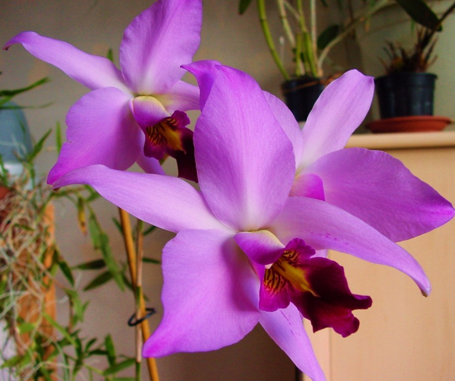 Laelia anceps subsp. dawsonii f. chilapensis (Guerrero) 816449DSC061441024x768