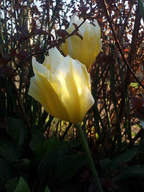 tulipe 2016 à 2019 - Page 4 818833Sanstitre4
