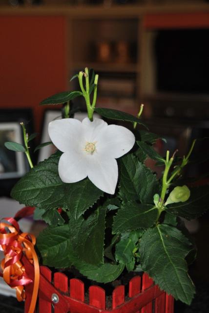 cadeau identifié : Platycodon grandiflorus forme blanche, une campanule chinoise  819060DSC0352