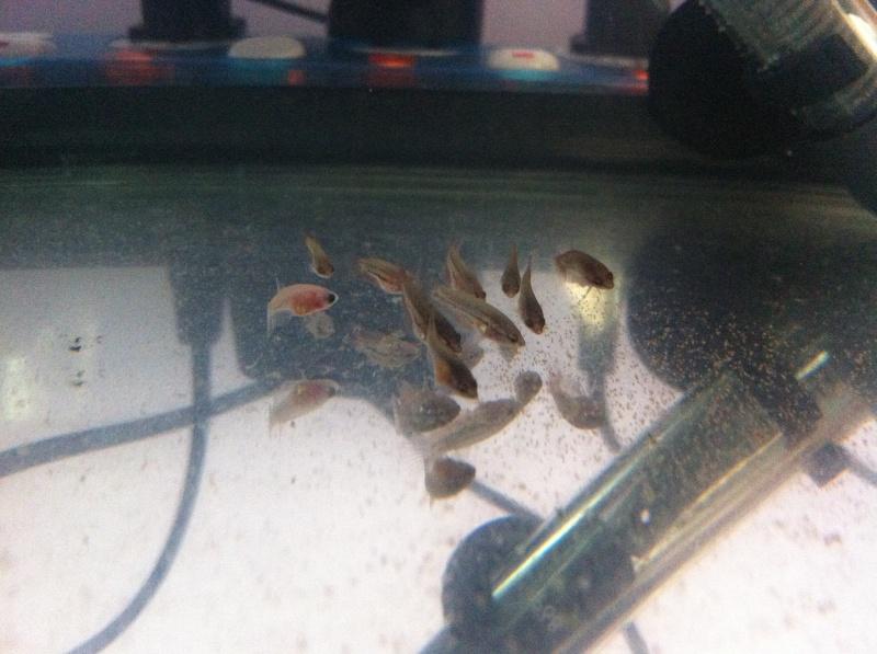 Reproduction male super delta armadillo X femelle queu de peigne. - Page 2 8257441moisalevins2