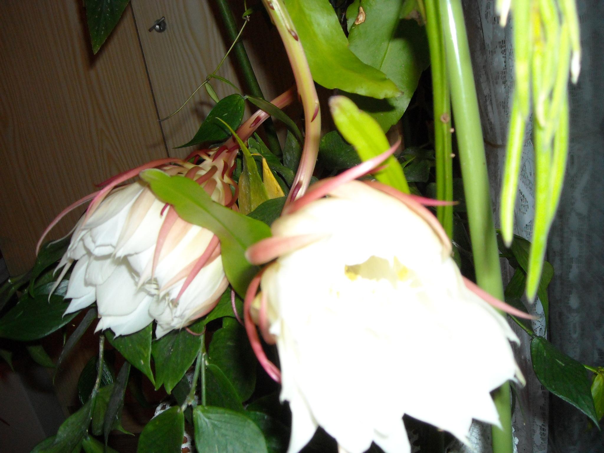 epiphyllum ou pas ? 829899DSCN5621