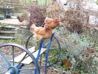 Les poules  836017P1030685