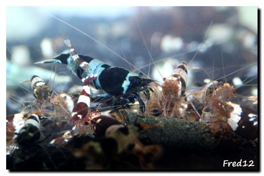 [VDS] crevettes taiwan bee, panda, king kong, TWBM f1, pinto... 843725atable