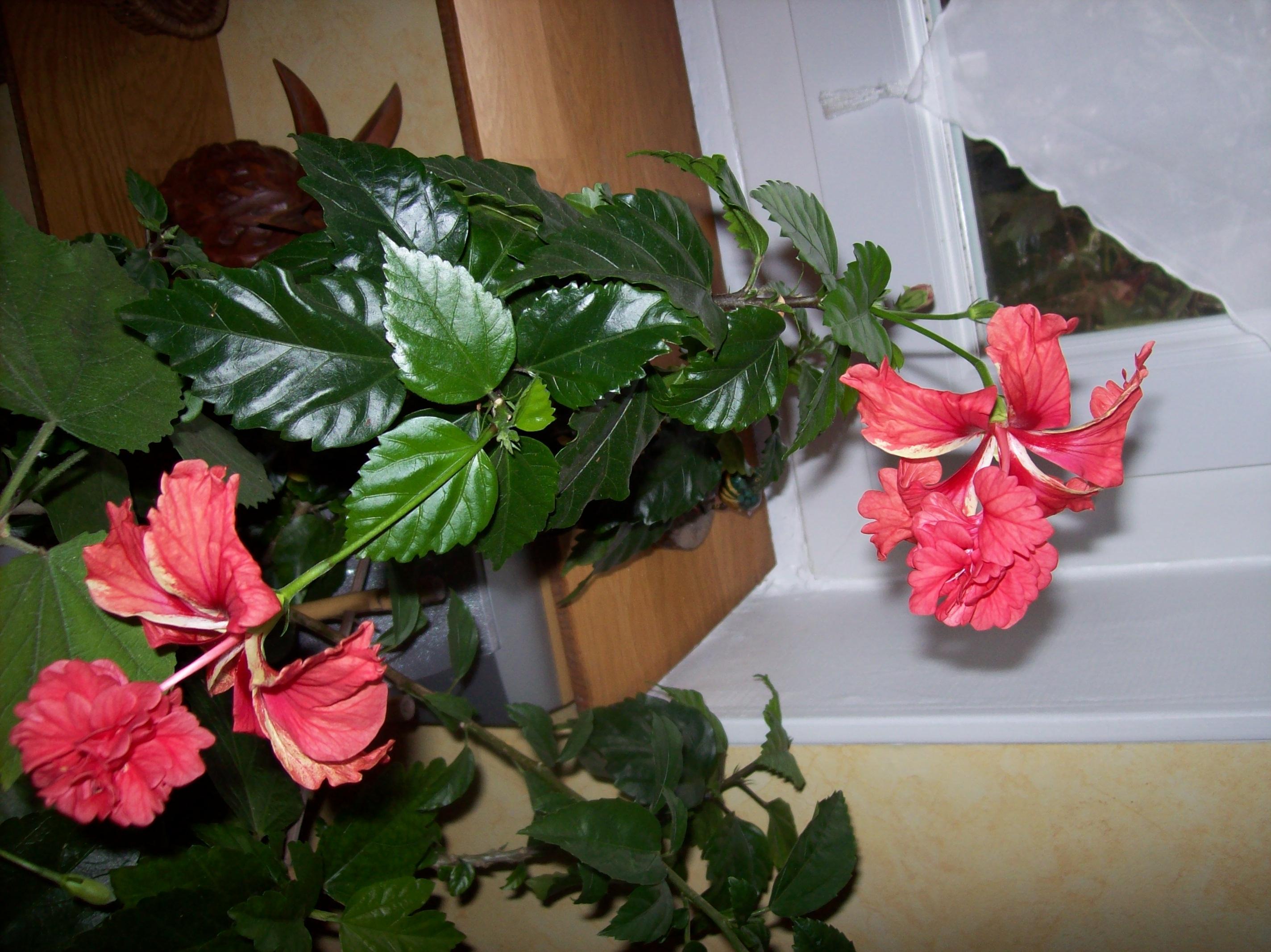 Quelques photos de plantes en fleurs en ce moment 843948hibiscuselcapitolioJPG