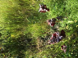 Orchidées corses  844997image