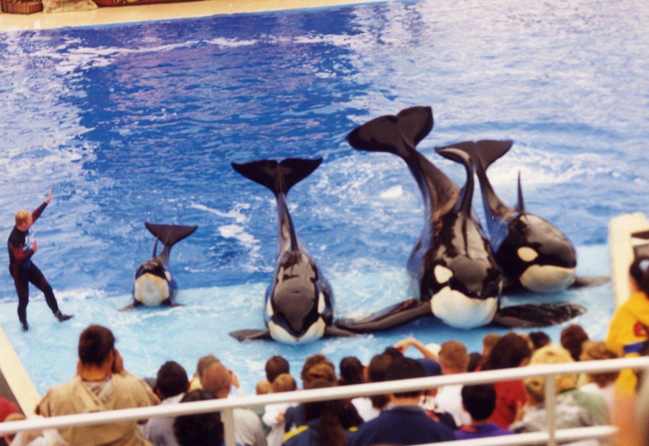[Photos] Les orques captives quand elles étaient bébé - Page 12 848208tumblrm9a1p3Cbax1rdleuso11280