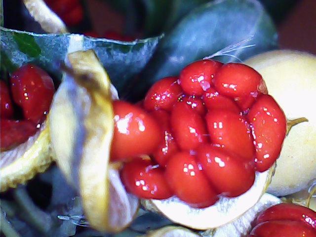 Pittosporum- un vert tendre  et une belle floraison 855371836