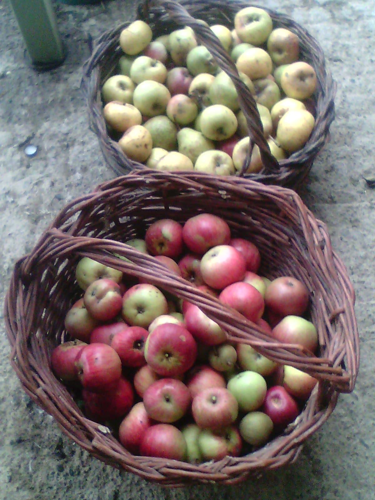 Récolte des pommes et poires 857448IMG1255A