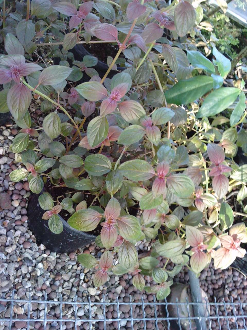 Qu'est ce que c'est que cet arbuste ??? [Centradenia floribunda] 858091P16011213530001