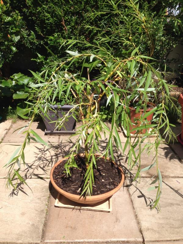 saule bonsai - Page 2