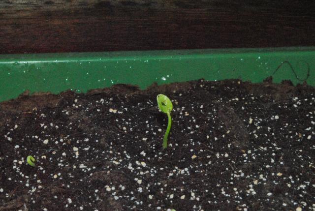 tentative de semis de schefflera  868833DSC4517
