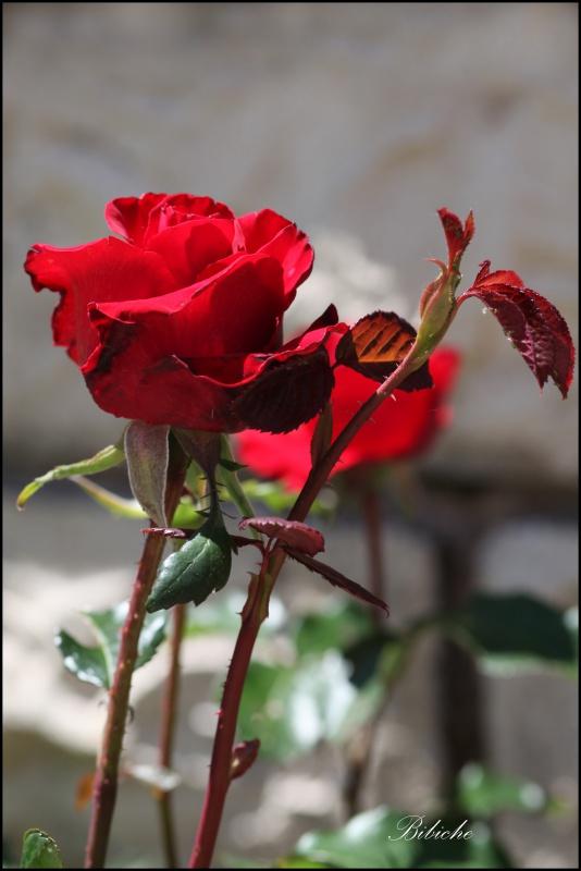 Rose du jardin . 869666bibiche