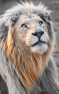 Lion blanc - Agnarr