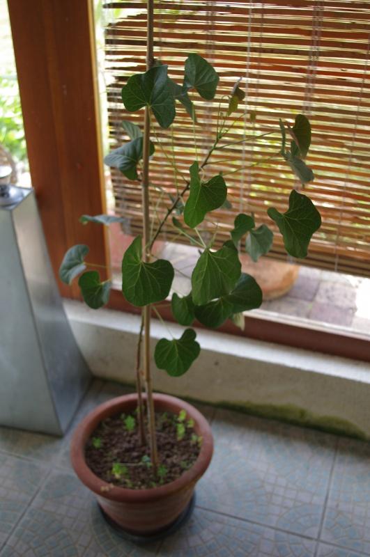 Ginkgo Biloba, Eucalyptus Deglupta, Passiflora Alata ...  - Page 2 875264IMGP3882