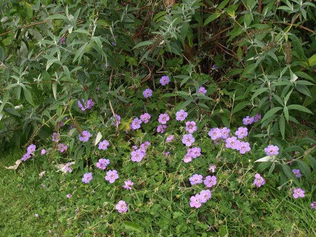 Geranium vivace  878932HAVANABLUES