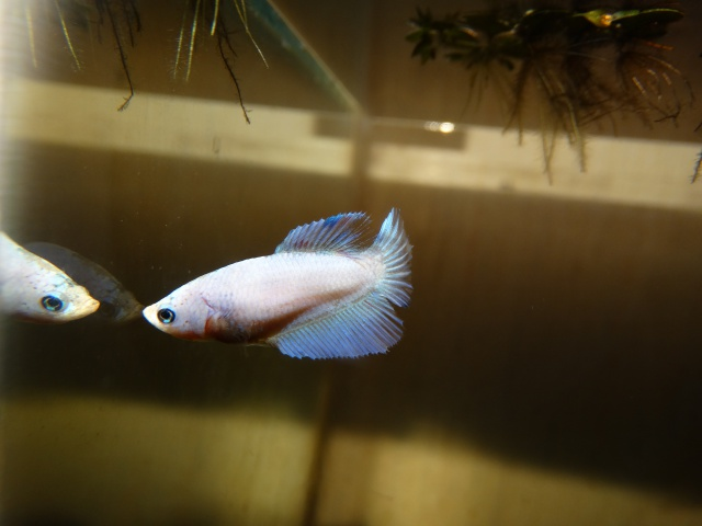 Pearl (SD bleu pastel marbré) 879895Pearl