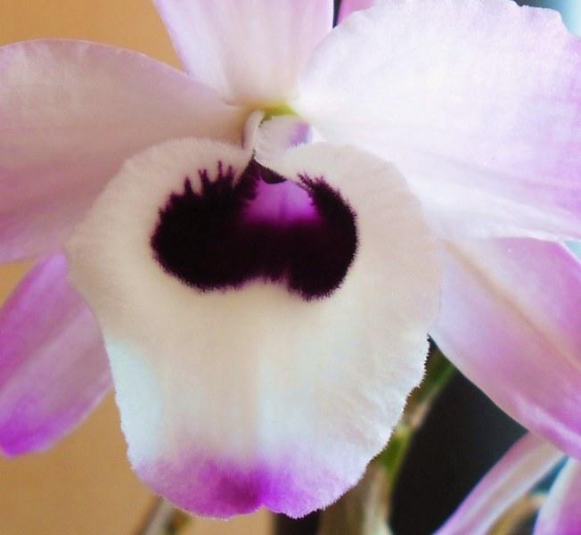 Dendrobium nobile 880412SAM1149800x600