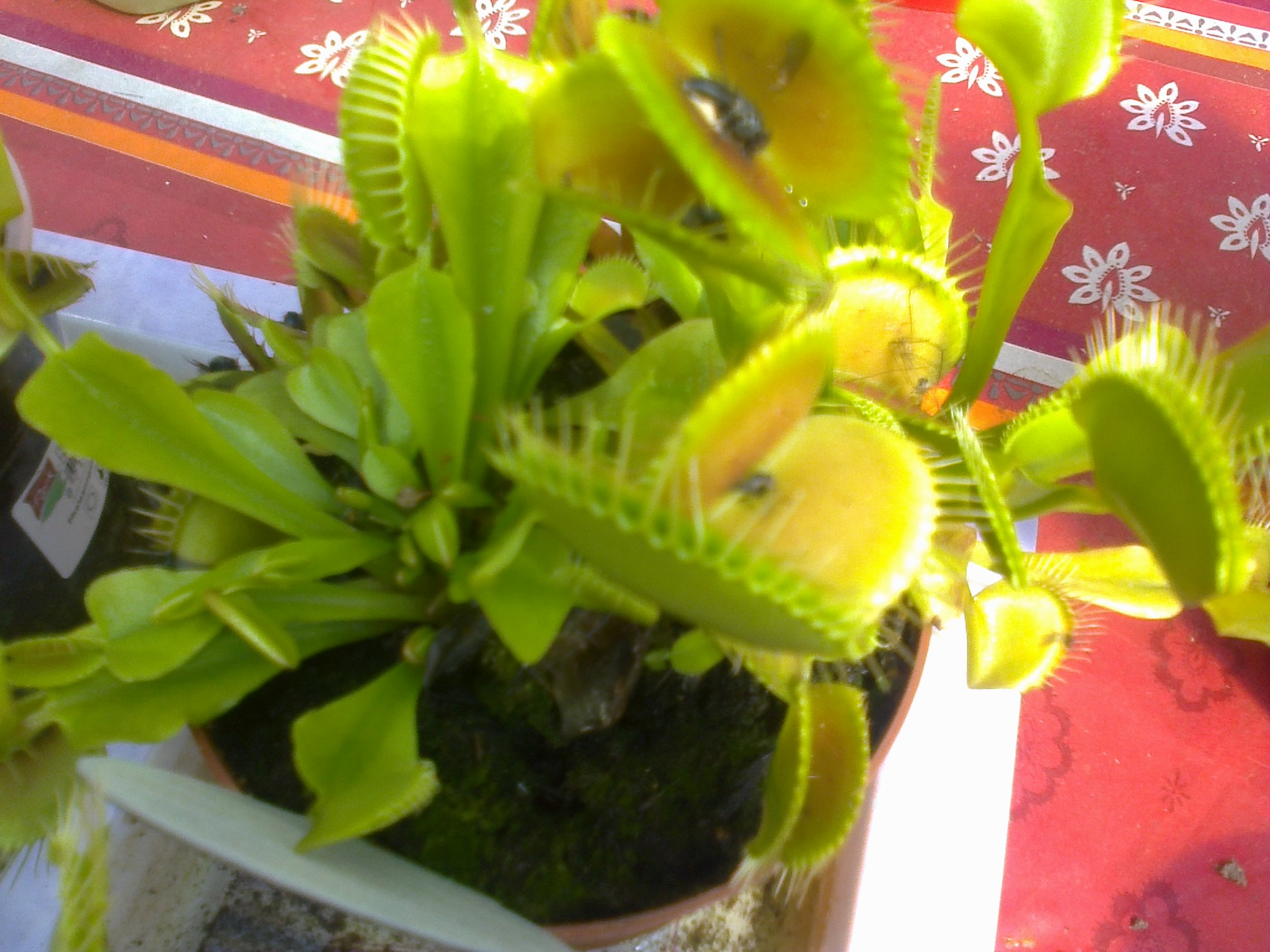 jeune plantes carnivores 884169Photo0122