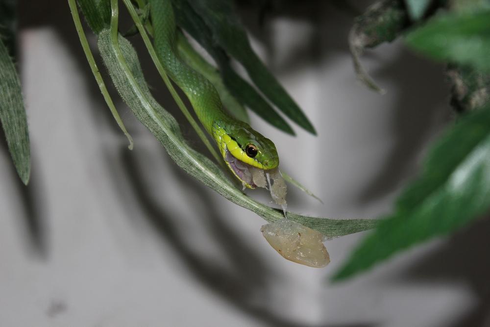 Les Philodryas aiment la grenouille 891424IMG7413r