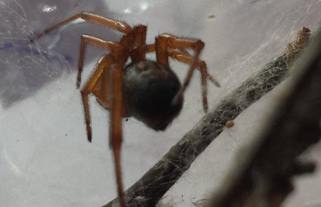 VDS/ECH Steatoda nobilis / Ctenidae sp / Segestria sp. 89261120140805162818
