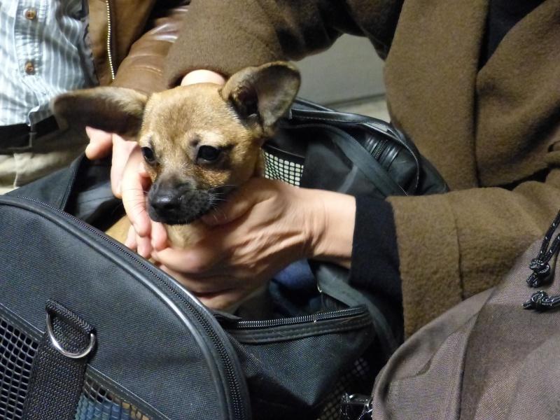 Betty, mini chien, soeur de Dixie 895689P1020930