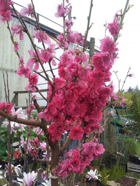 Prunus - Page 3 898796phototelephone162