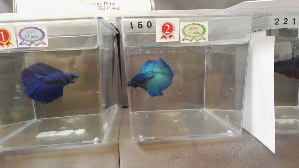APRES Swiss Betta Show, Cernier, 2017, résultats, photos... 901340187406749355572299176026089819763542926040n