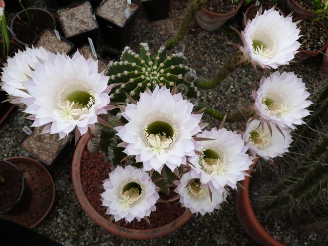 cactus - Page 2 915421P1180402