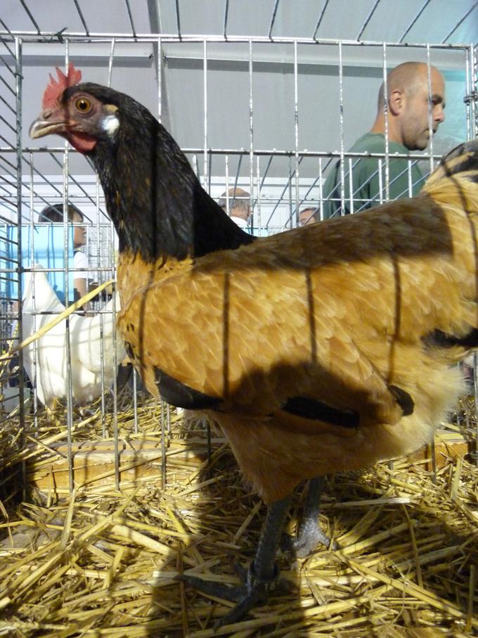 exposition d'aviculture Foire ST MATTHIEU 27 et 28 Septembre 2014 - Page 3 918908P1150871