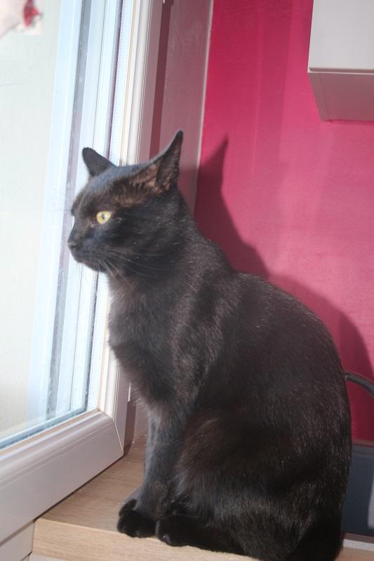 TIZON- mâle adulte noir-(fiv+)- FELIN POSSIBLE- à adopter. 921345ti1