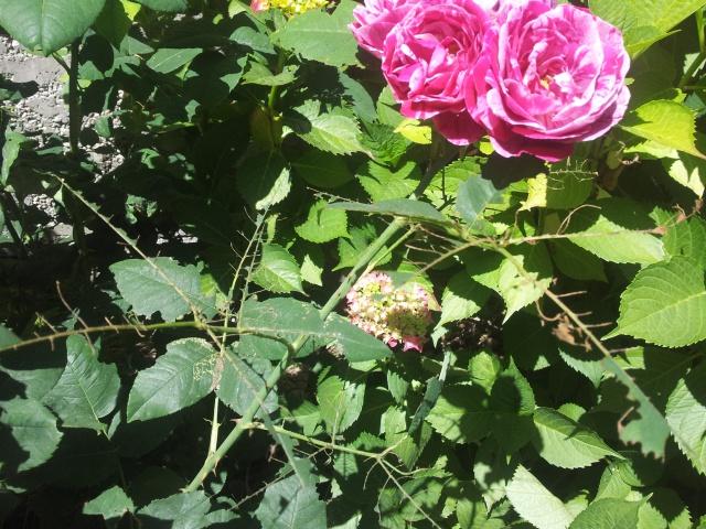 la tenthrède du rosier ou fausse chenille 92263820170616115339
