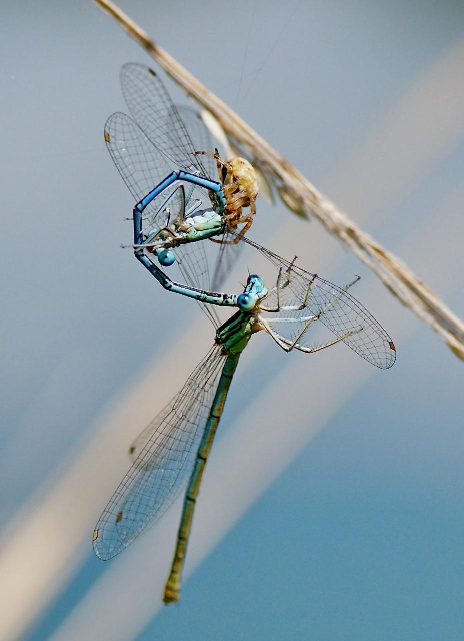 libellules prises au piège 928650Capture