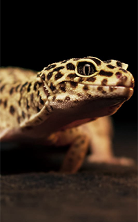 Spencer - Gecko Léopard