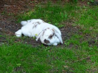 Nina, lapine bélier, née en aout 2011 - Page 8 933488P1160823