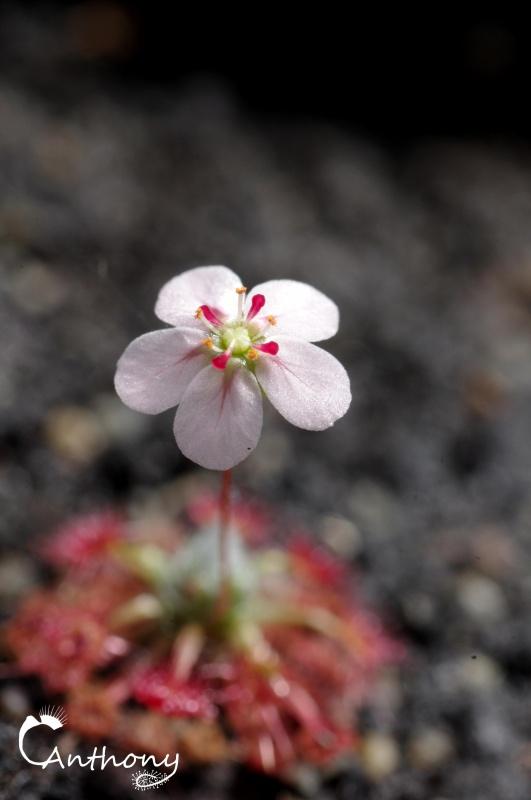 Une fleur de pygmé mais rien qu'une. 937550IMGP4970
