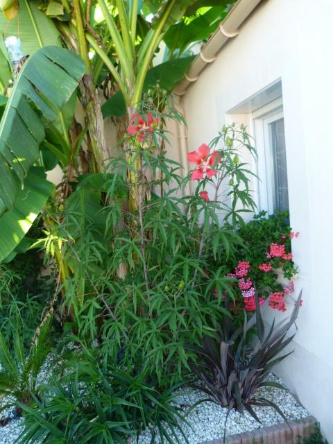 Voici mes quelques hibiscus en fleurs - Page 2 937760P1050219