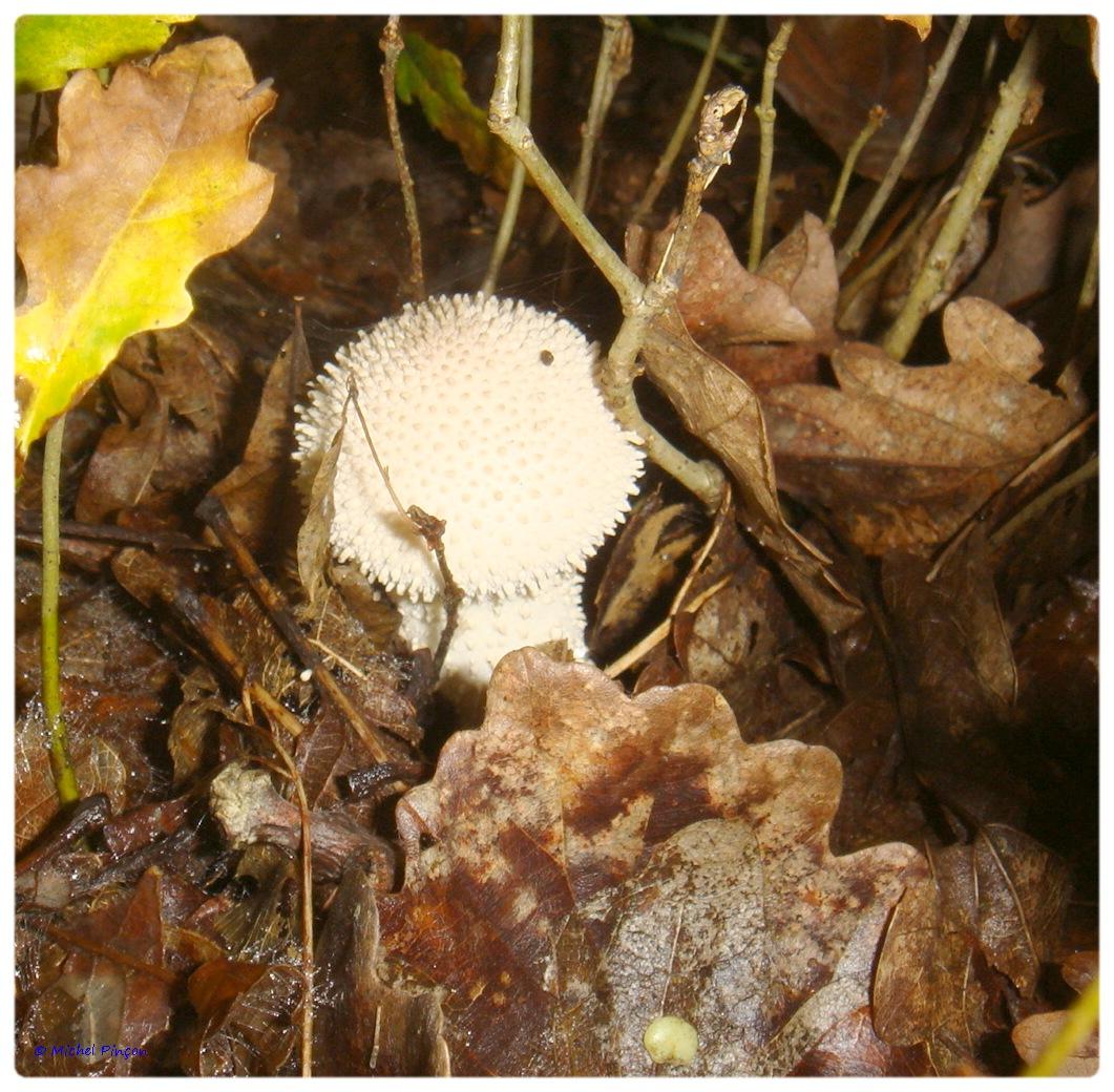[fil ouvert] les champignons - Page 3 942991DSC011344
