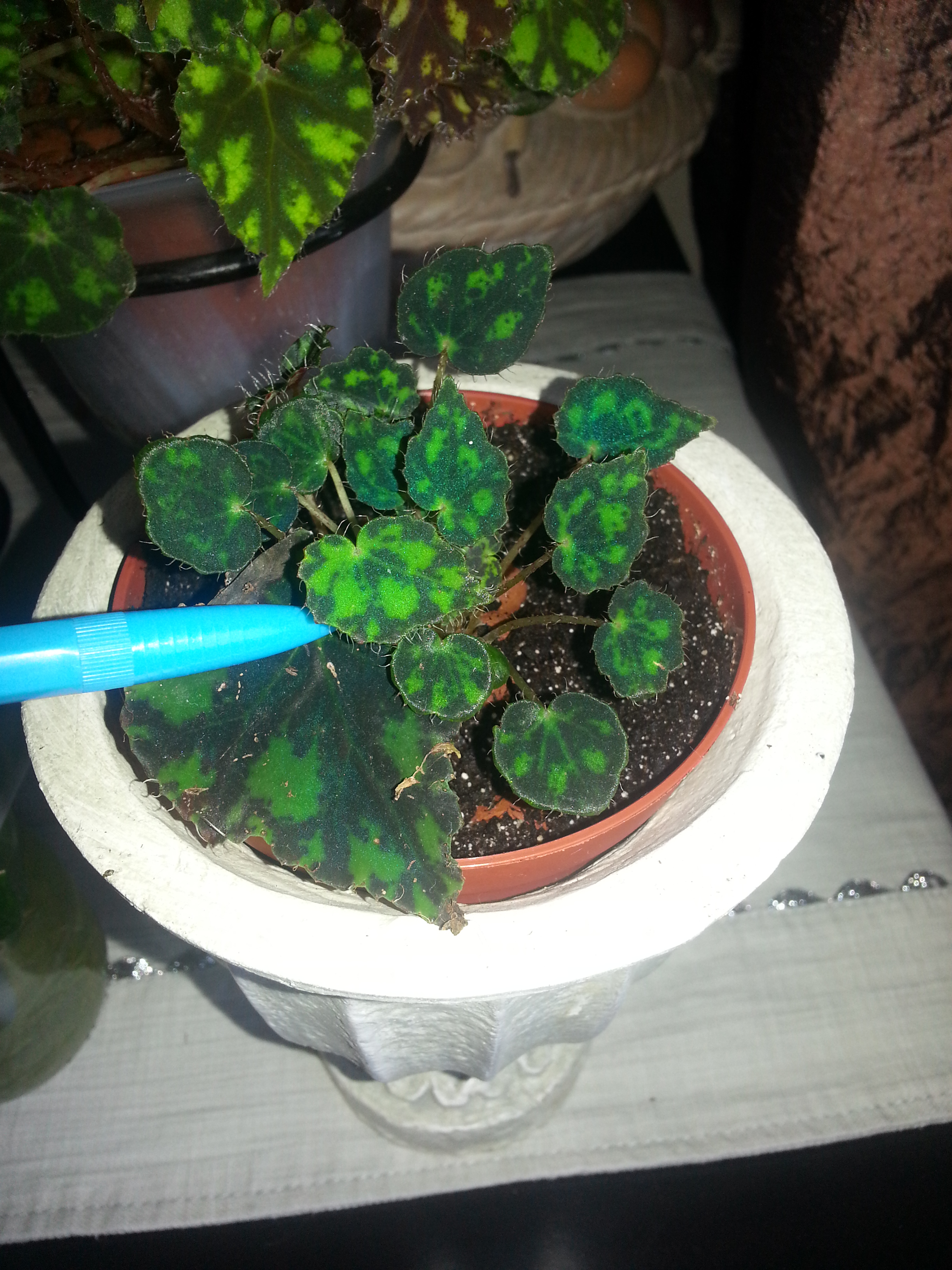 begonia bowerii tiger  94560420140806112617