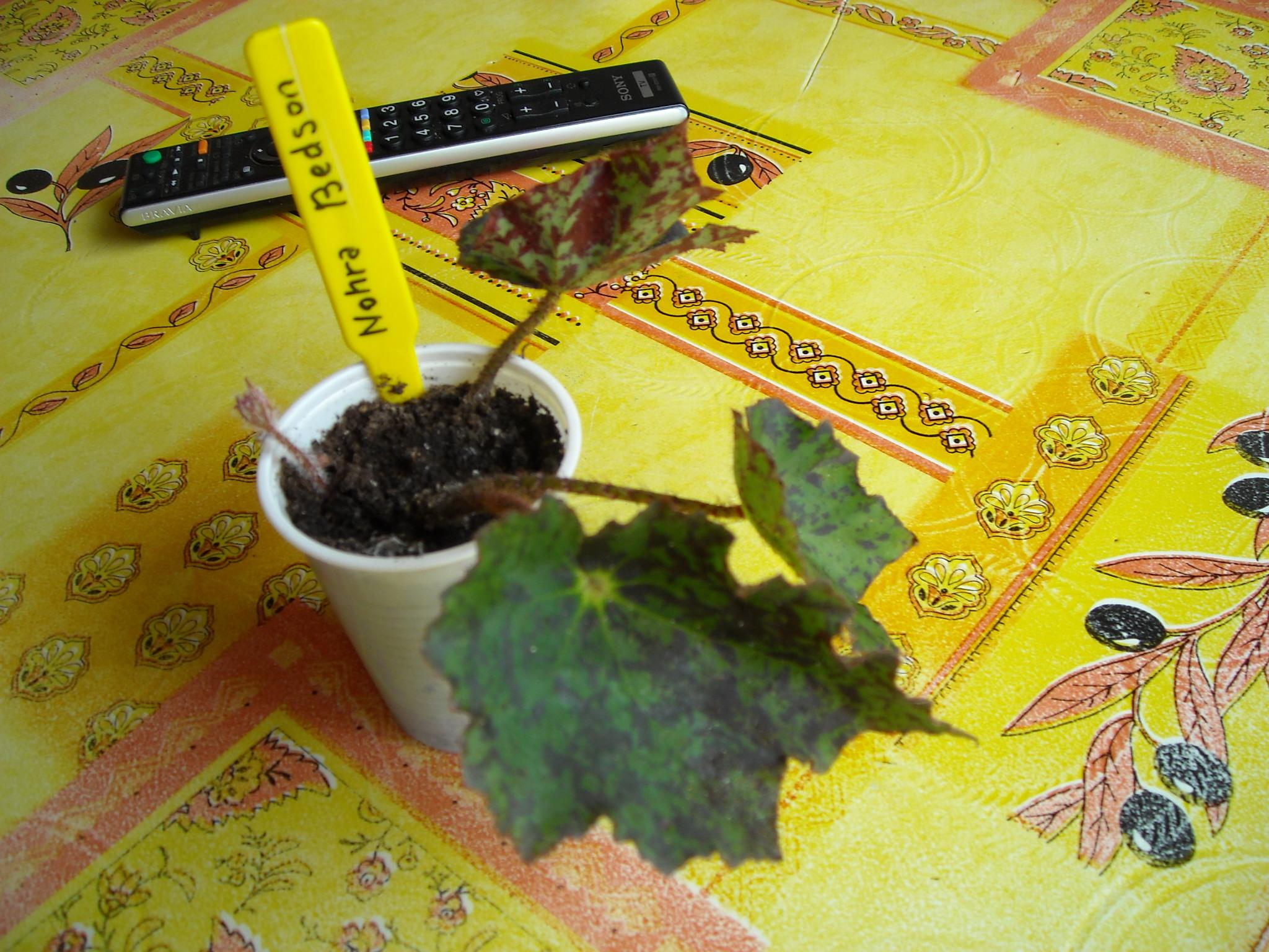 Begonia Baby Dress 947976begoniaamphalangetzizi007