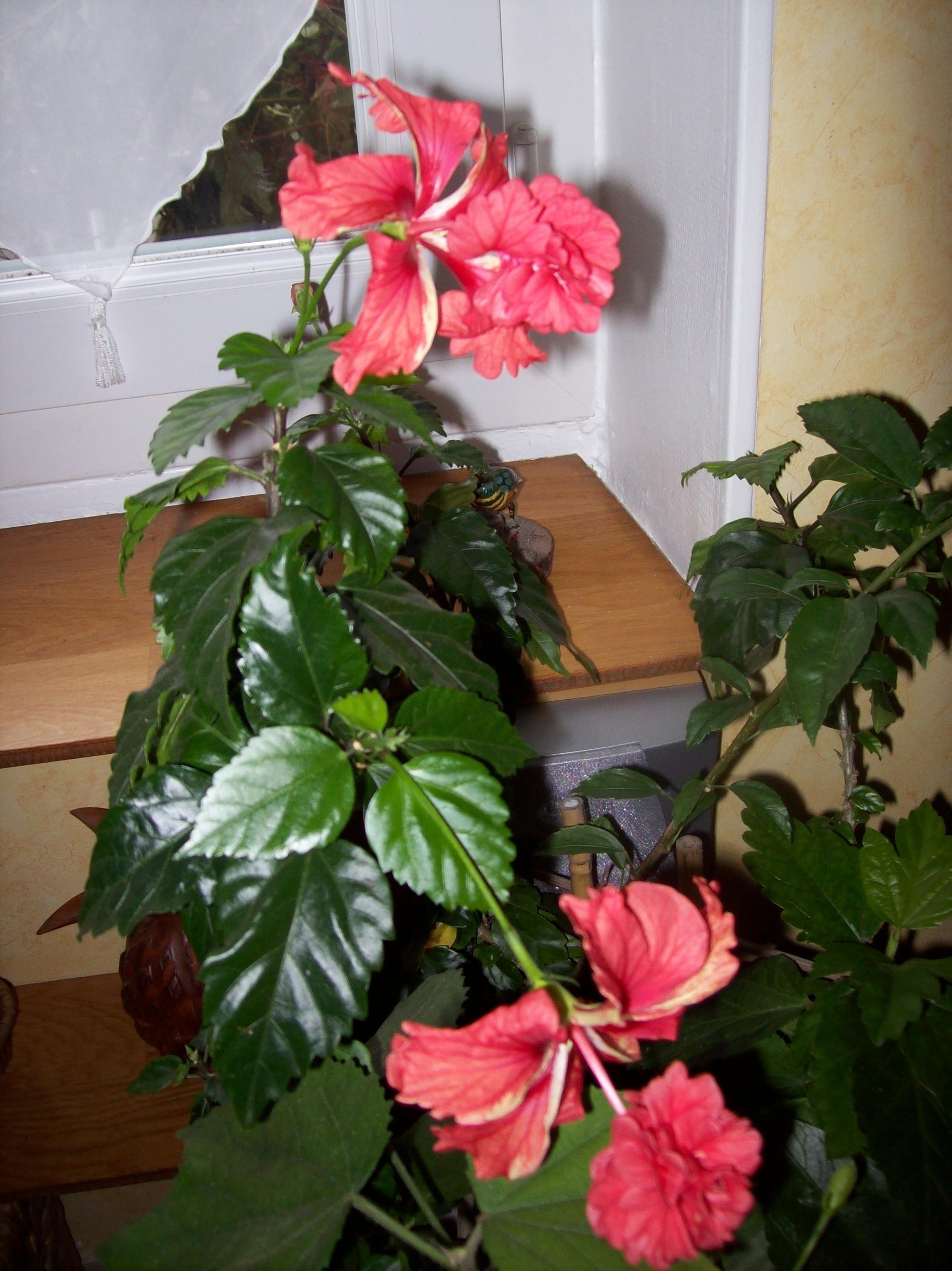 Quelques photos de plantes en fleurs en ce moment 954950hibiscuselcapitolio1JPG